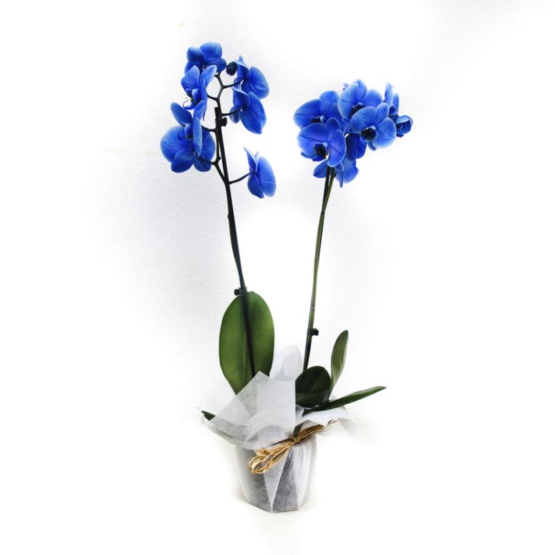 Orquidea Azul Floresnuevas Com