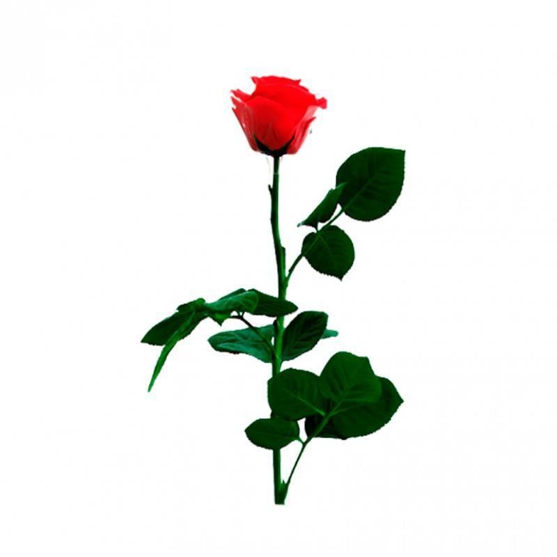 Rosa Mini Eterna Preservada Floresnuevascom
