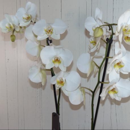 Planta de orquídea blanca