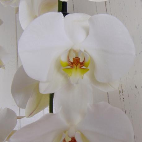 Regalar orquídea blanca