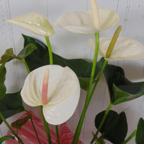 Planta anthurium blanco