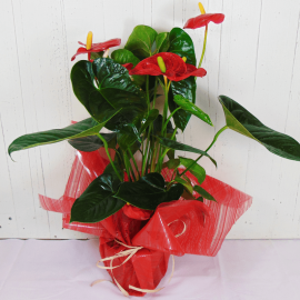 Anthurium rojo