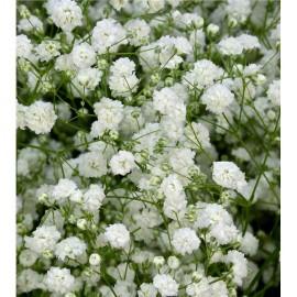 Paniculata (vara)
