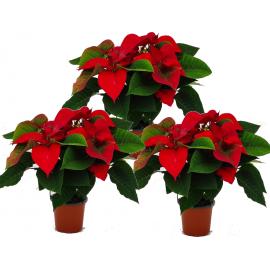 PACK 3 Plantas de Navidad (Poinsettias)