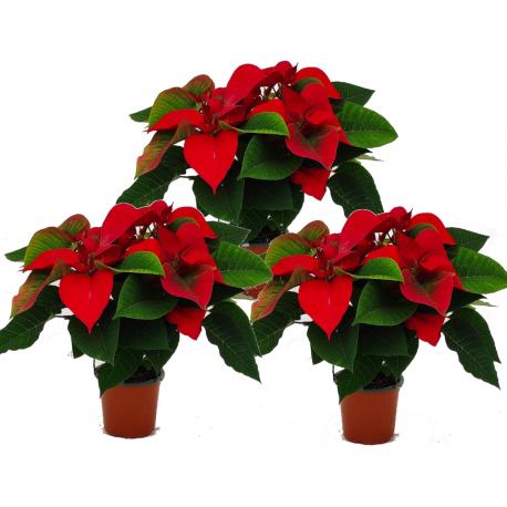 Planta de Navidad (Poinsettia)