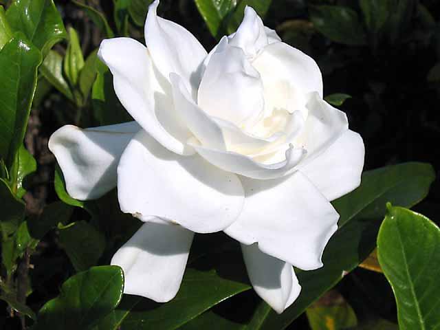 Gardenia blanca