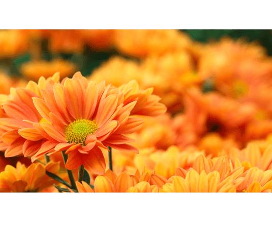 Flores Naranjas Floresnuevas Com