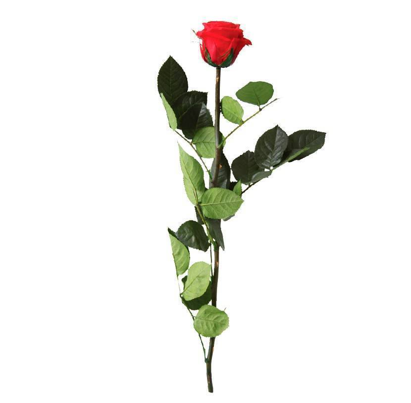 Rosa eterna preservada